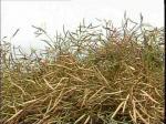 Зерновые и зернобобовые в СКО убраны на 78% площадей